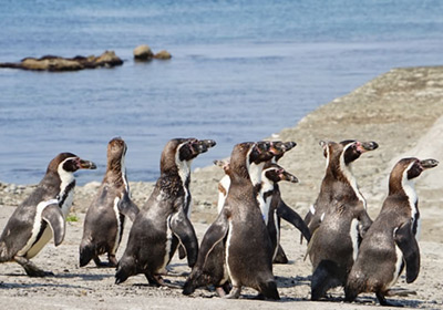 The Penguin Hike to the Sea (Marine mammal park)